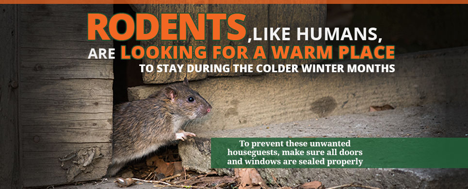 Rodents, Like Humans, Are Looking for a Warm Place To Stay During The Colder Winter Months